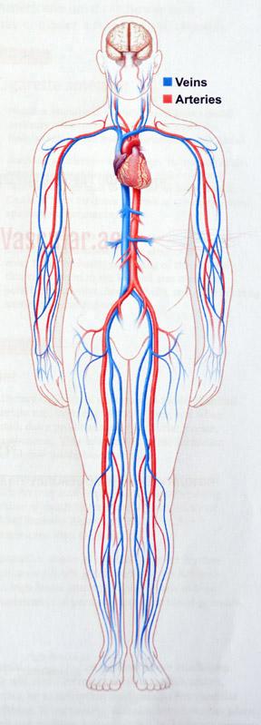 جهاز الأوعية الدموية الخاص بك